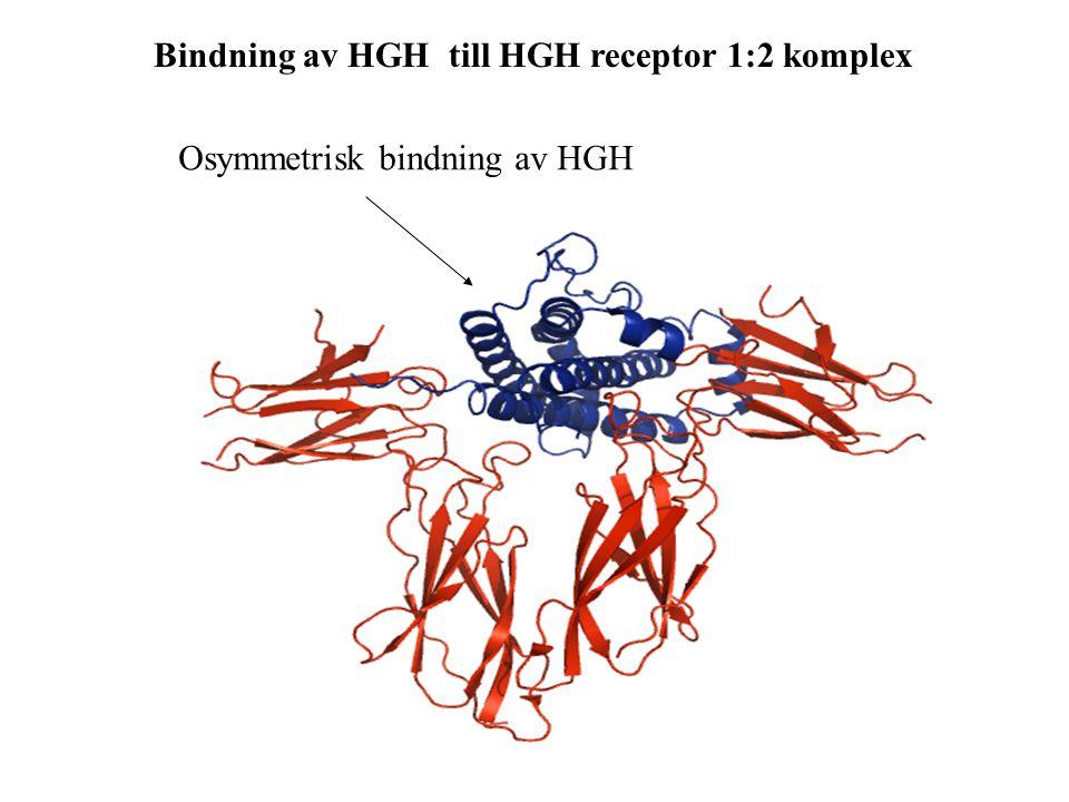 Bindning av HGH till HGH receptor 1:2 komplex Osymmetrisk bindning av HGH