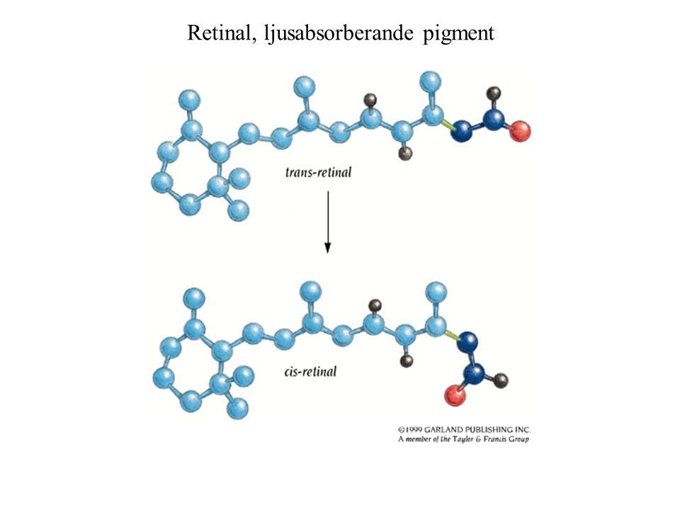 Retinal, ljusabsorberande pigment