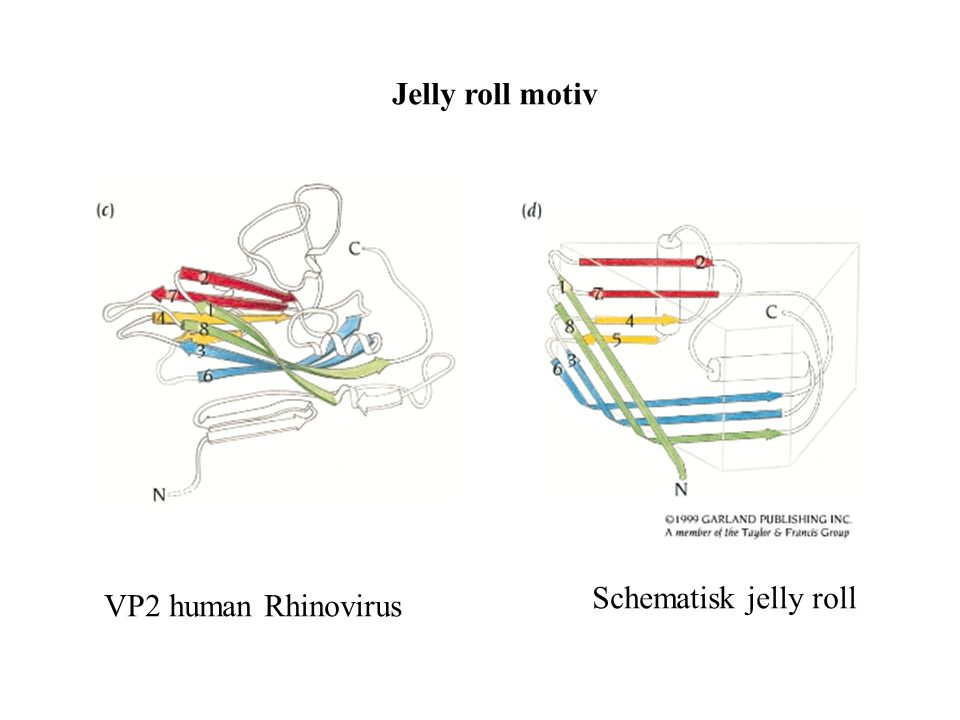 Jelly roll motiv VP2 human Rhinovirus Schematisk jelly roll