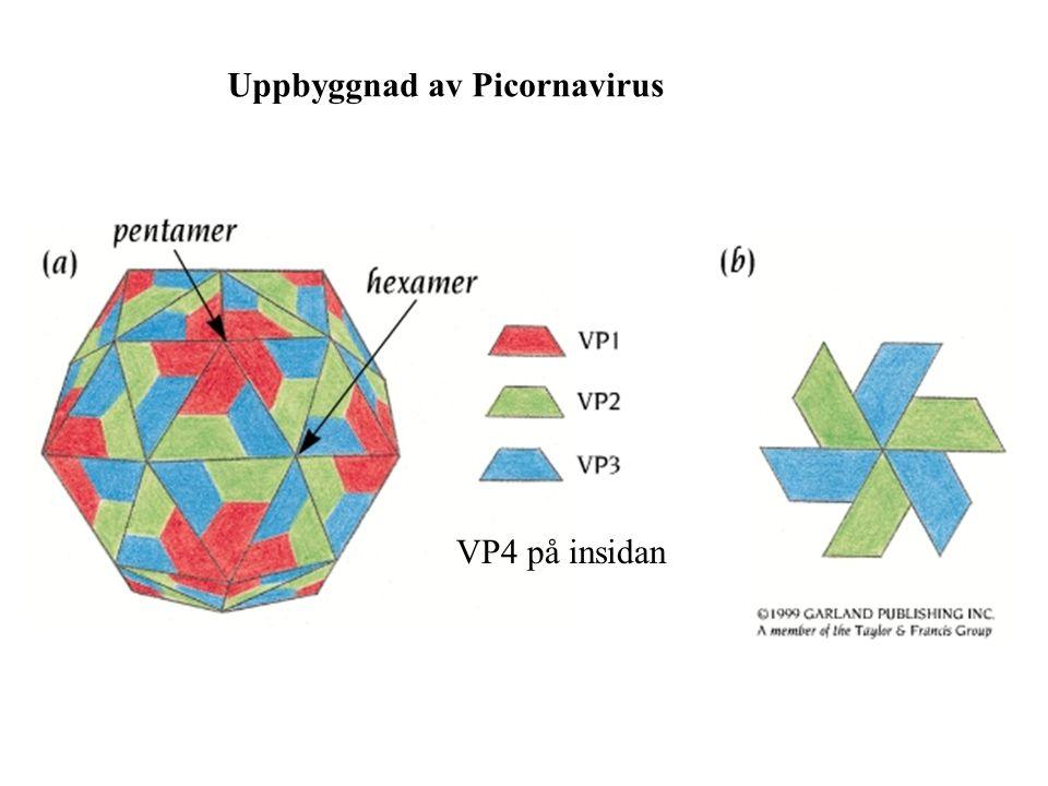 Uppbyggnad av Picornavirus VP4 på insidan