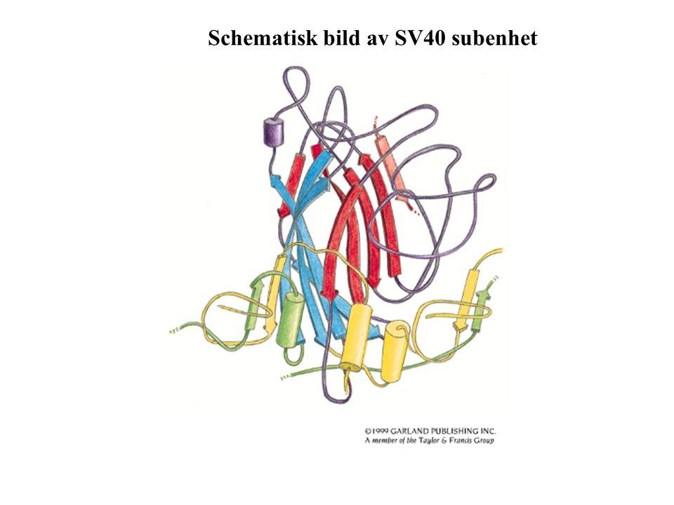Schematisk bild av SV40 subenhet