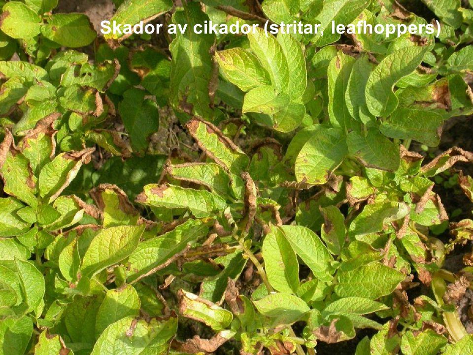 Skador av cikador (stritar, leafhoppers)