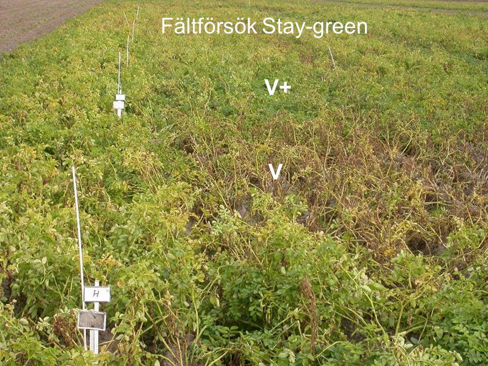 Fältförsök Stay-green V V+