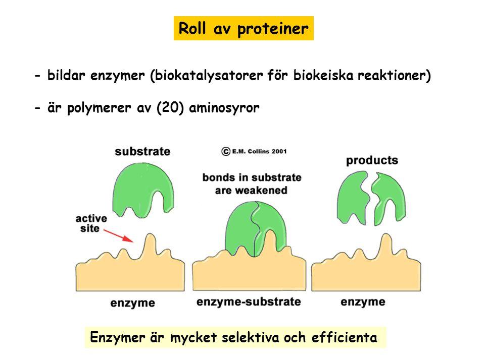 Roll av proteiner - bildar enzymer (biokatalysatorer för biokeiska reaktioner) - är polymerer av (20) aminosyror Enzymer är mycket selektiva och effic