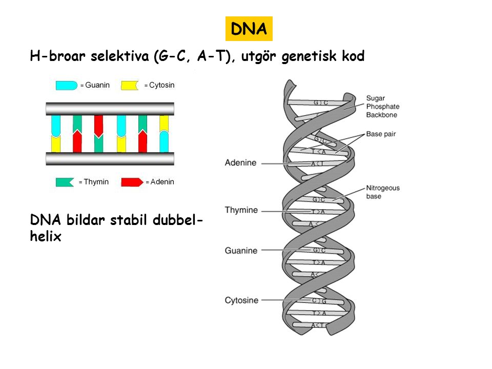 DNA H-broar selektiva (G-C, A-T), utgör genetisk kod DNA bildar stabil dubbel- helix