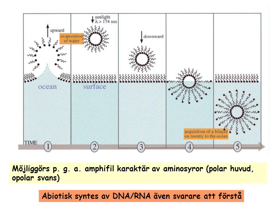 Möjliggörs p. g. a. amphifil karaktär av aminosyror (polar huvud, opolar svans) Abiotisk syntes av DNA/RNA även svarare att förstå