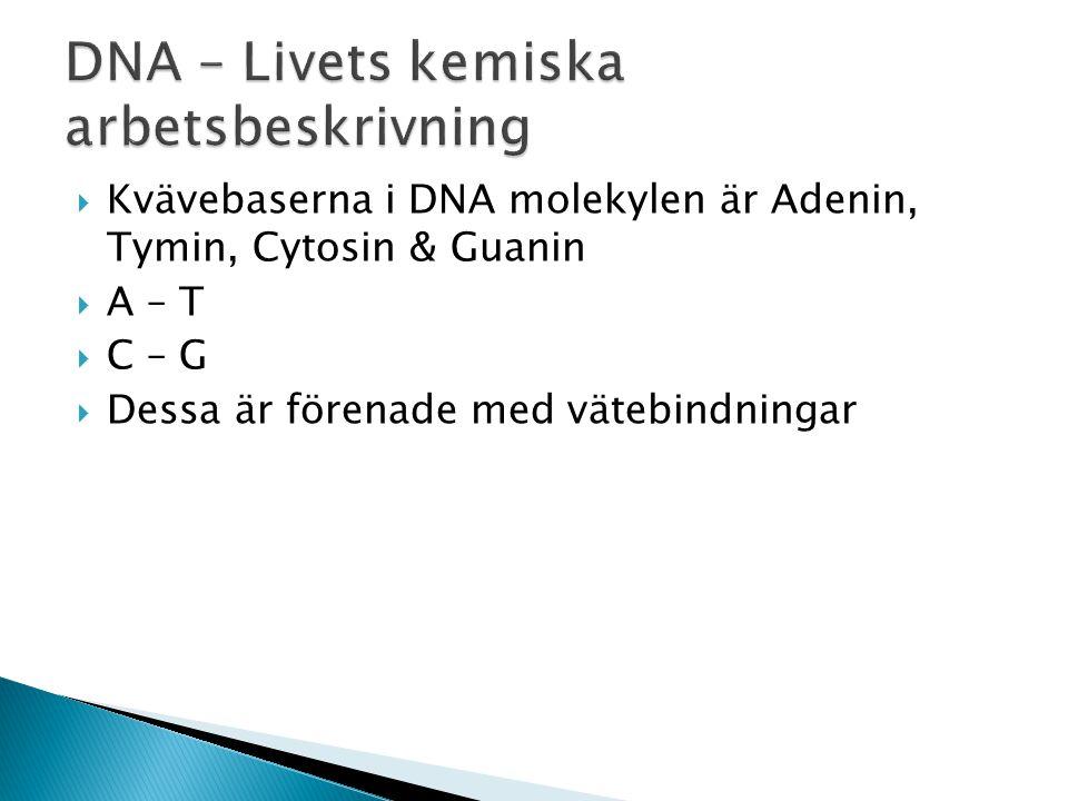  Kvävebaserna i DNA molekylen är Adenin, Tymin, Cytosin & Guanin  A – T  C – G  Dessa är förenade med vätebindningar