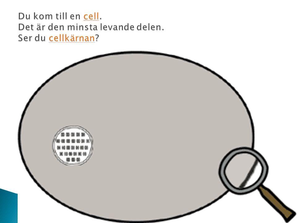  Här inne i cellkärnan finns kromosomerna.cellkärnankromosomerna