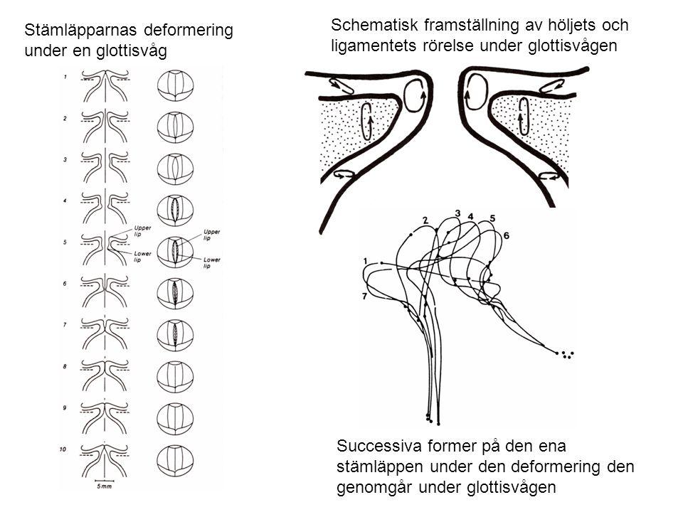 Stämläpparnas deformering under en glottisvåg Schematisk framställning av höljets och ligamentets rörelse under glottisvågen Successiva former på den
