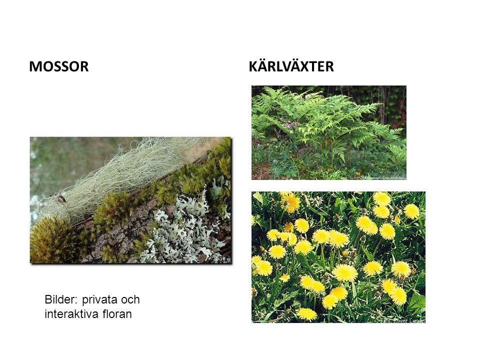 MOSSORKÄRLVÄXTER Bilder: privata och interaktiva floran