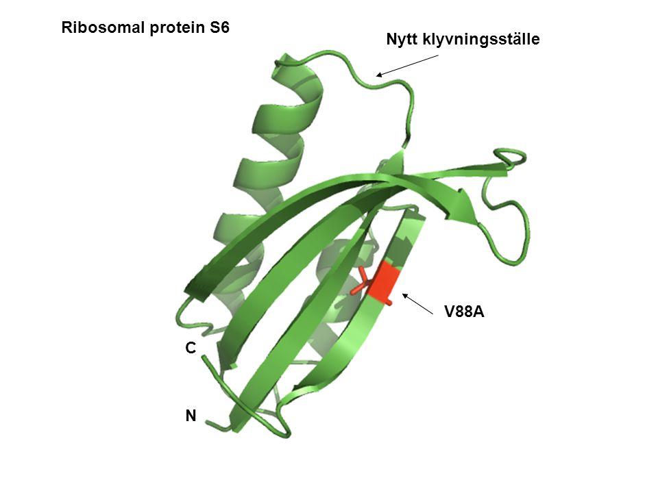 V88A N C Nytt klyvningsställe Ribosomal protein S6