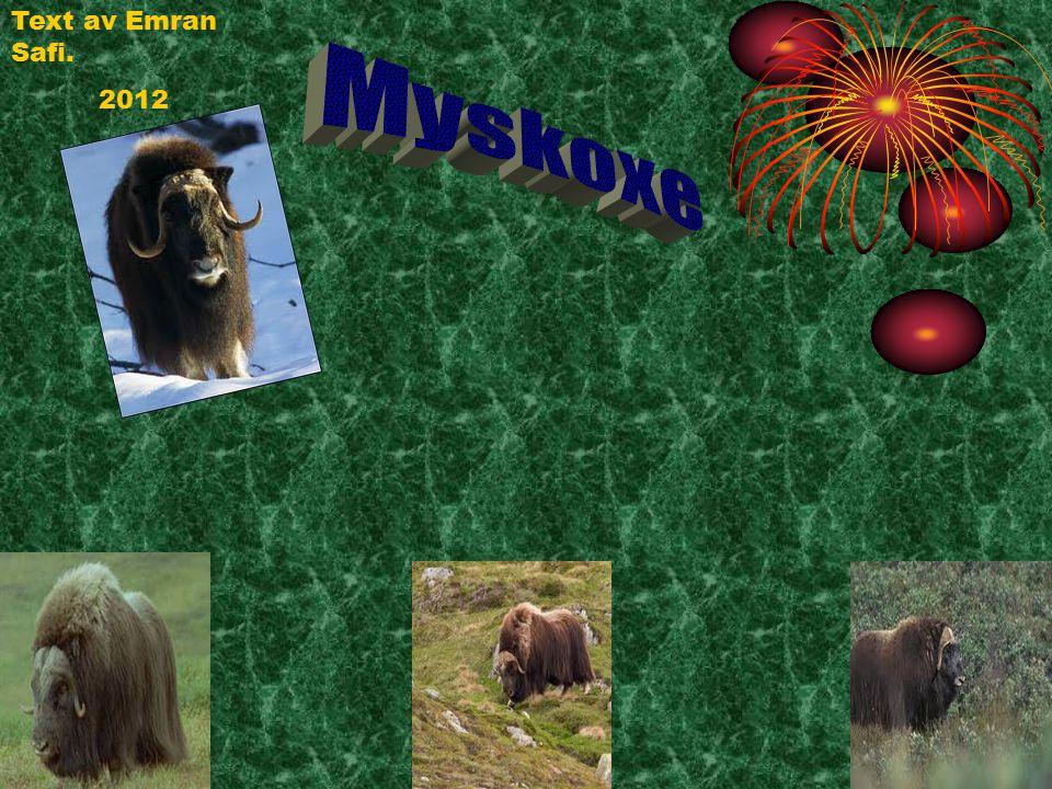 Myskoxe har ytterpäls.Ytterpälsen har upp till 50 cm långa täckhår som nästan rör vid marken.