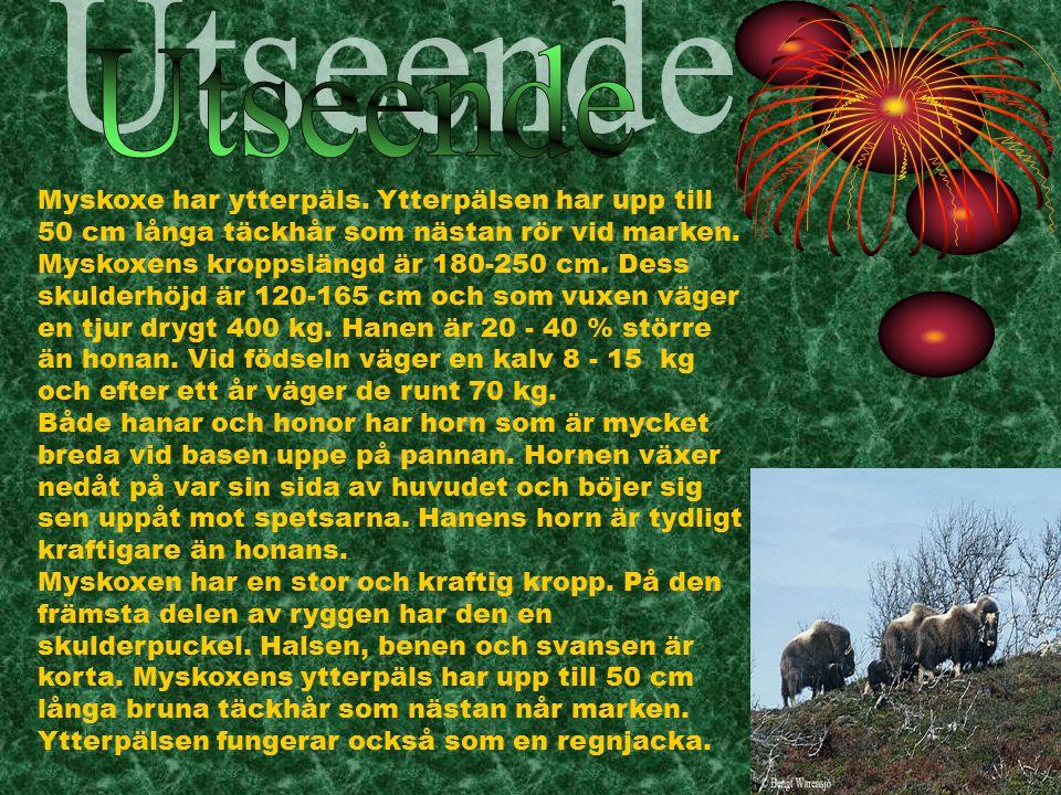 De svenska myskoxarna lever i Härjedalen i närheten av den norska gränsen.