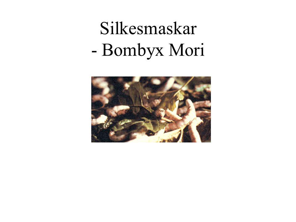 Silkesmaskar och mullbärsblad
