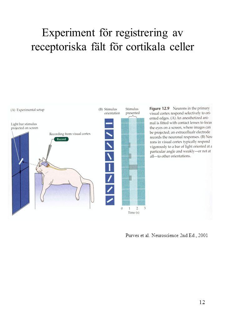 12 Experiment för registrering av receptoriska fält för cortikala celler Purves et al. Neuroscience 2nd Ed., 2001