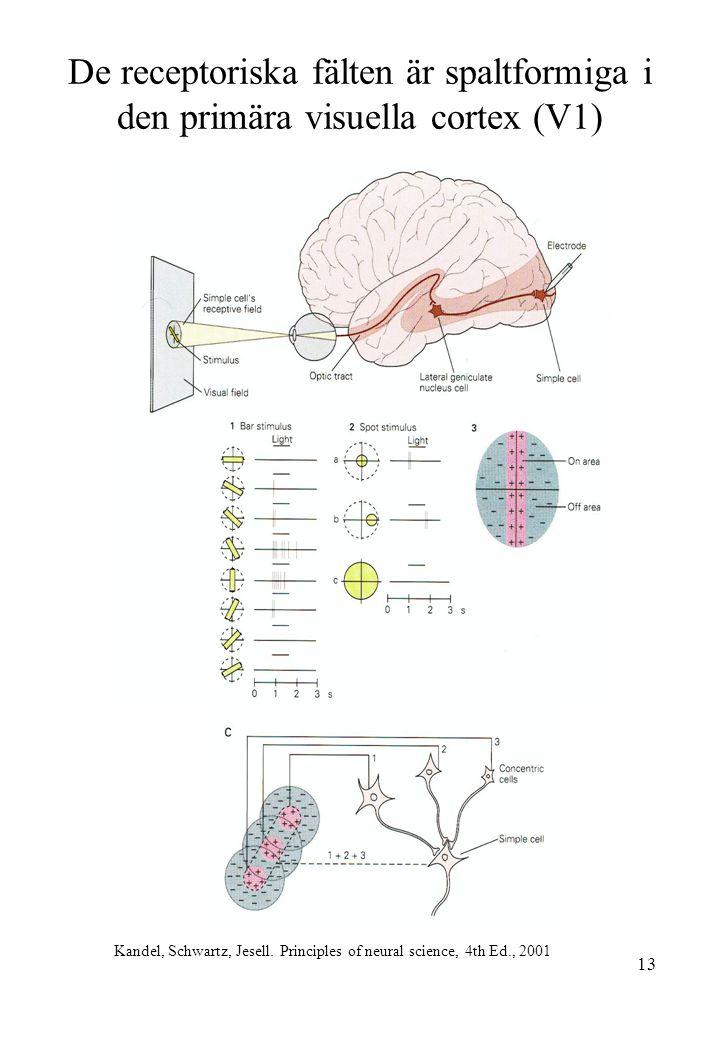 13 De receptoriska fälten är spaltformiga i den primära visuella cortex (V1) Kandel, Schwartz, Jesell. Principles of neural science, 4th Ed., 2001