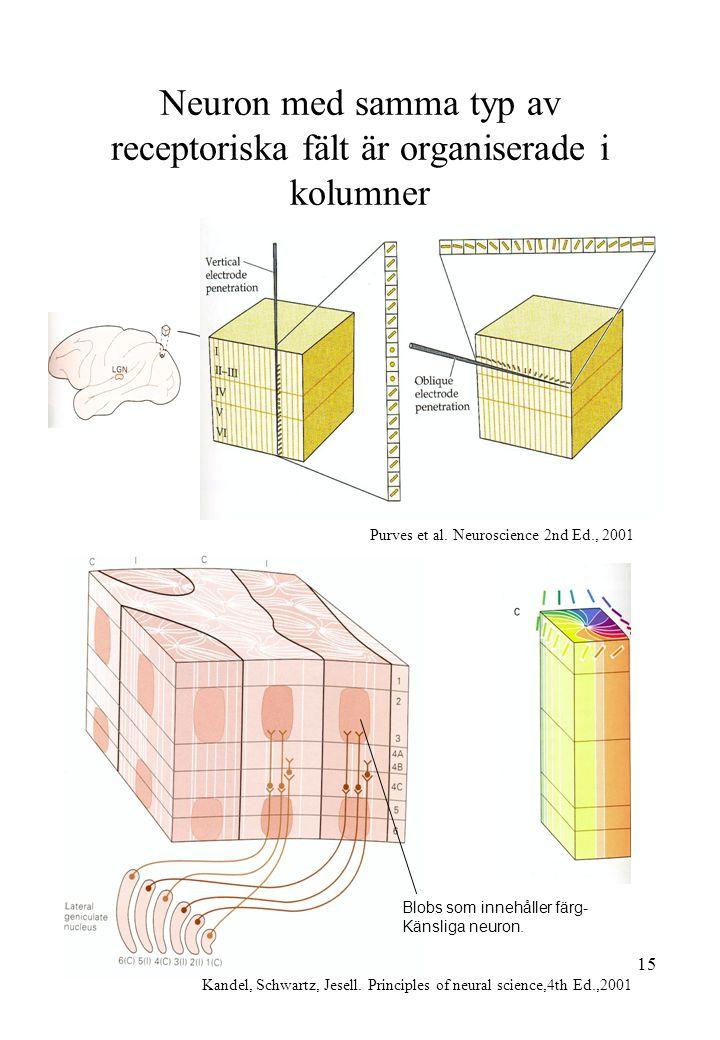 15 Neuron med samma typ av receptoriska fält är organiserade i kolumner Kandel, Schwartz, Jesell. Principles of neural science,4th Ed.,2001 Purves et