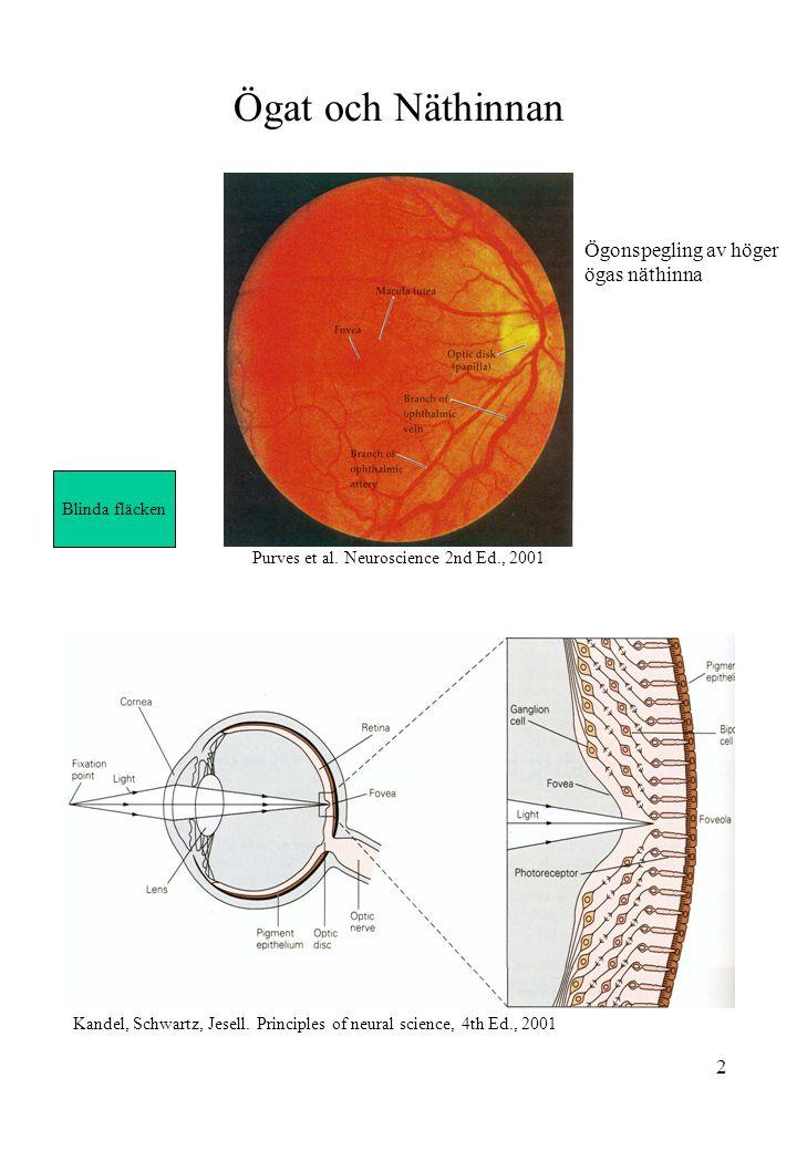 2 Ögat och Näthinnan Kandel, Schwartz, Jesell. Principles of neural science, 4th Ed., 2001 Ögonspegling av höger ögas näthinna Purves et al. Neuroscie