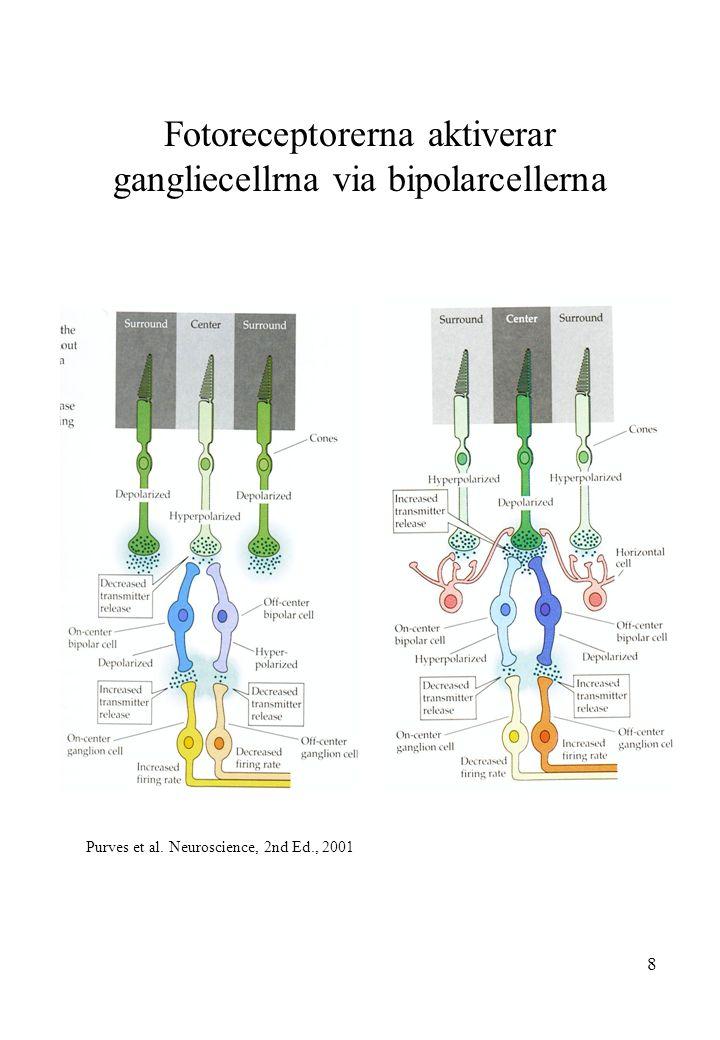 8 Fotoreceptorerna aktiverar gangliecellrna via bipolarcellerna Purves et al. Neuroscience, 2nd Ed., 2001