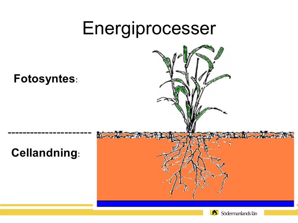 Energiprocesser II Fotosyntes: 6 H2O + 6 CO2 + ljusenergi → C6H12O6 (druvsocker) + 6 O2ljusenergidruvsocker Cellandning: C6H12O6(druvsocker) + 6O2 → 6H2O + 6CO2 + energi (ATP)druvsocker