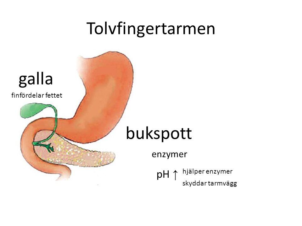 Tolvfingertarmen enzymer pH ↑ skyddar tarmvägg hjälper enzymer galla finfördelar fettet bukspott