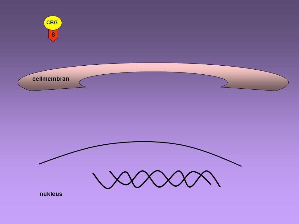 cellmembran CBG S nukleus