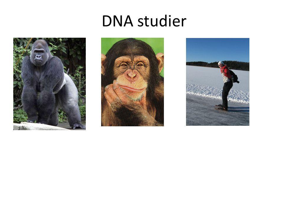 DNA studier