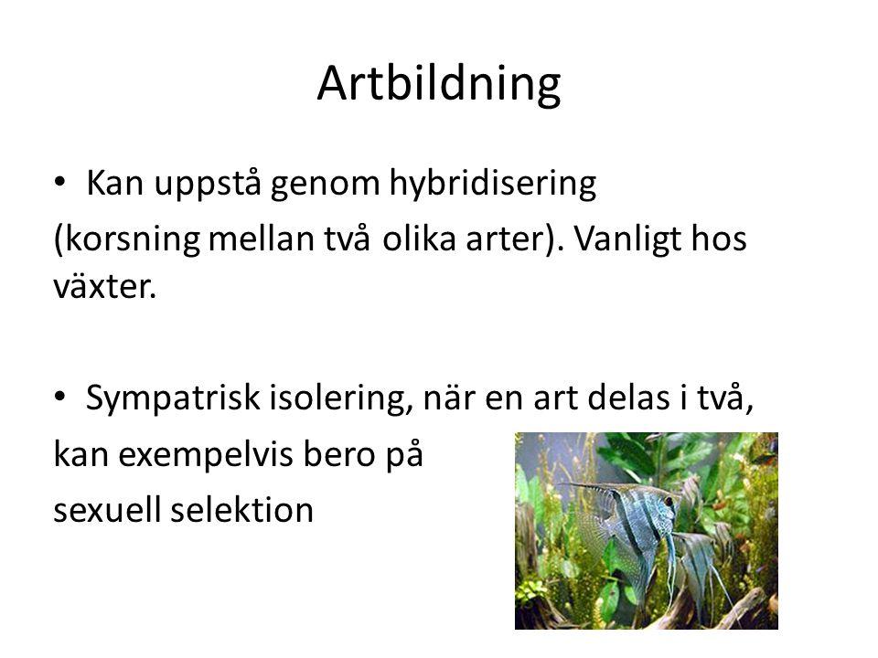 Artbildning Kan uppstå genom hybridisering (korsning mellan två olika arter). Vanligt hos växter. Sympatrisk isolering, när en art delas i två, kan ex
