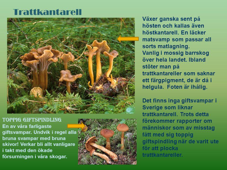 Trattkantarell Växer ganska sent på hösten och kallas även höstkantarell. En läcker matsvamp som passar all sorts matlagning. Vanlig i mossig barrskog