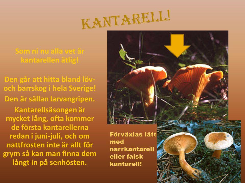 Kantarell ! Som ni nu alla vet är kantarellen ätlig! Den går att hitta bland löv- och barrskog i hela Sverige! Den är sällan larvangripen. Kantarellsä