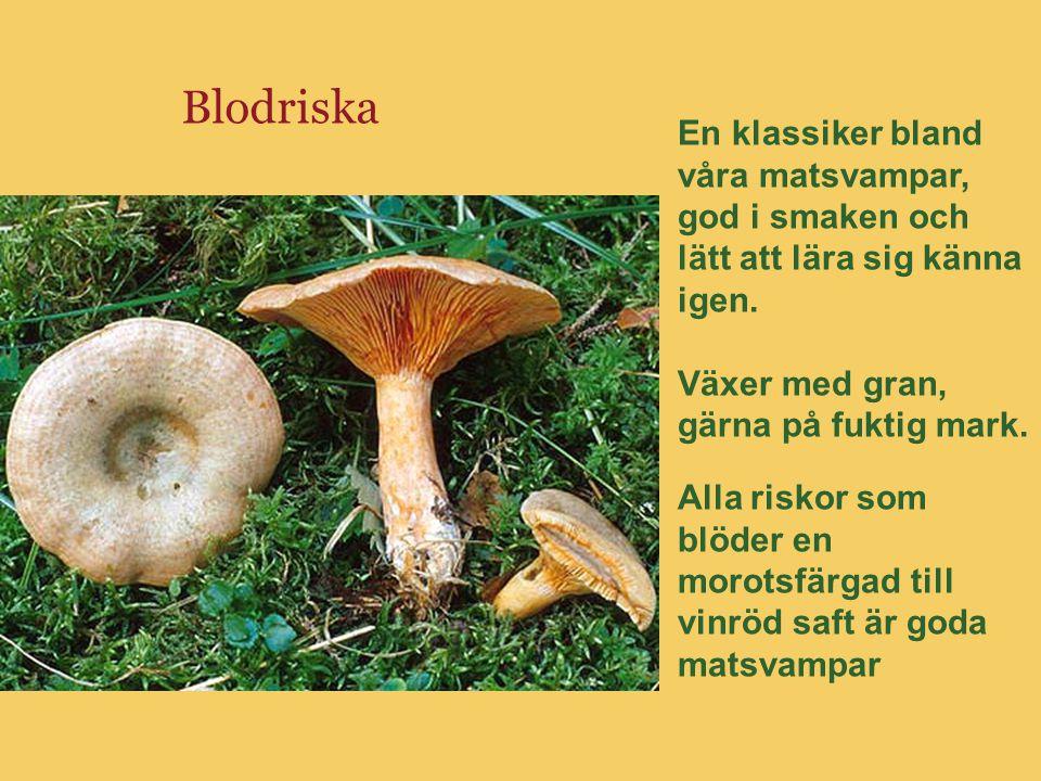 Blodriska En klassiker bland våra matsvampar, god i smaken och lätt att lära sig känna igen. Växer med gran, gärna på fuktig mark. Alla riskor som blö