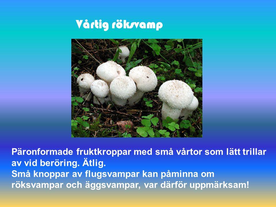 Blomkålssvamp En härligt god, stor och maffig gräddfärgad svamp påminnande om ett stort blomkålshuvud.