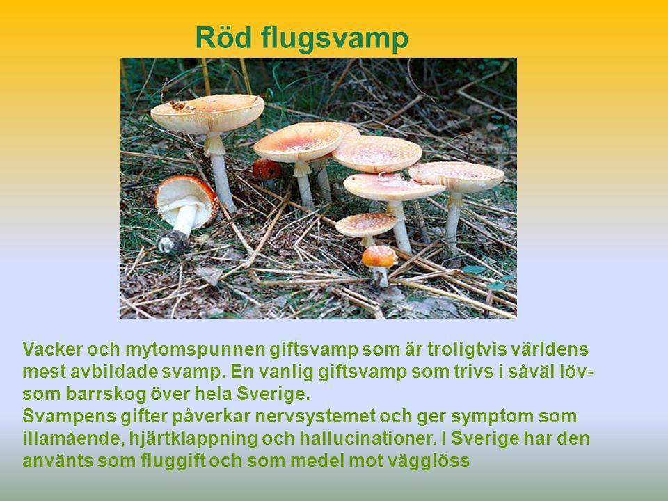 Röd flugsvamp Vacker och mytomspunnen giftsvamp som är troligtvis världens mest avbildade svamp. En vanlig giftsvamp som trivs i såväl löv- som barrsk