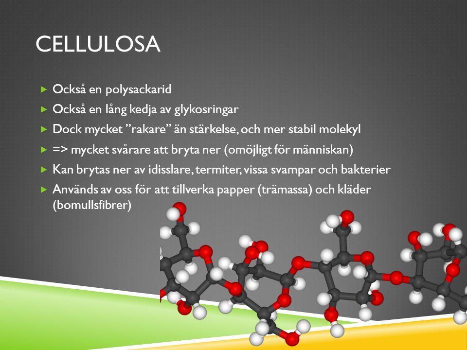 CELLULOSA  Också en polysackarid  Också en lång kedja av glykosringar  Dock mycket rakare än stärkelse, och mer stabil molekyl  => mycket svårare att bryta ner (omöjligt för människan)  Kan brytas ner av idisslare, termiter, vissa svampar och bakterier  Används av oss för att tillverka papper (trämassa) och kläder (bomullsfibrer)
