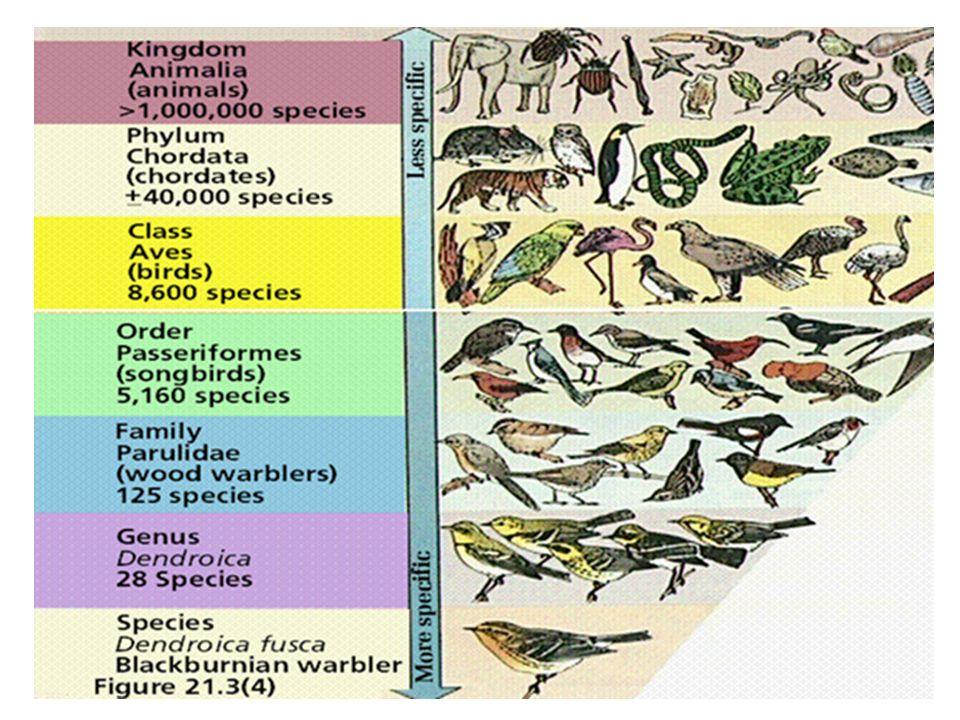 Aristoteles zoologi djur (växter) bloddjur blodlösa djur fyrfotadjur som föder levande ungar äggläggande fyrfotadjur fåglar valdjur fiskar mjukdjur dj