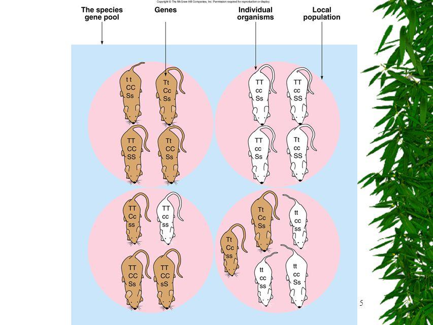 6 Olika populationer  Kan ha både: –Olika frekvens av de olika generna  Många båögongener eller få blåögongener) –Olika genetisk diversitet  Genetisk diversitet – mängden olika gener –Kan också vara mer specifikt  För en specifik karaktär är det hög eller låg genetisk diversitet (låg om alla har samma allel – gen)  Allel – när man studerar/jämför förekomsten av gener för en specifik karaktär