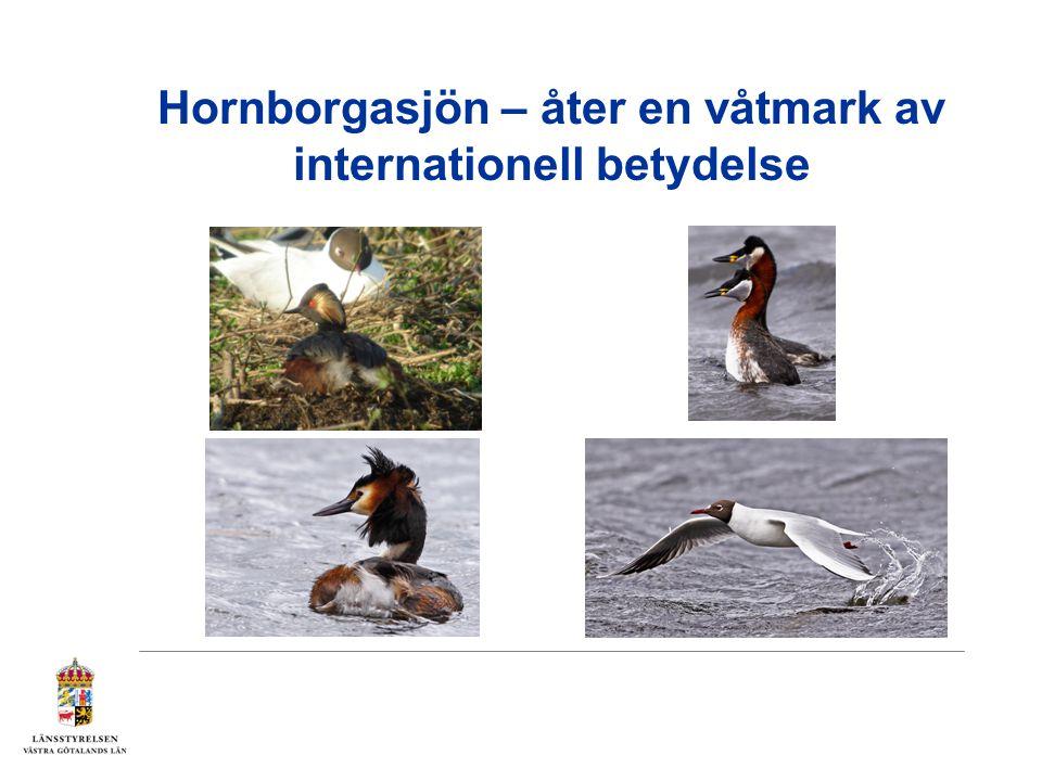 Hornborgasjön – åter en våtmark av internationell betydelse