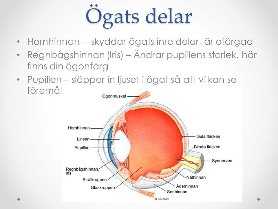 Ögats delar Hornhinnan – skyddar ögats inre delar, är ofärgad Regnbågshinnan (Iris) – Ändrar pupillens storlek, här finns din ögonfärg Pupillen – släp