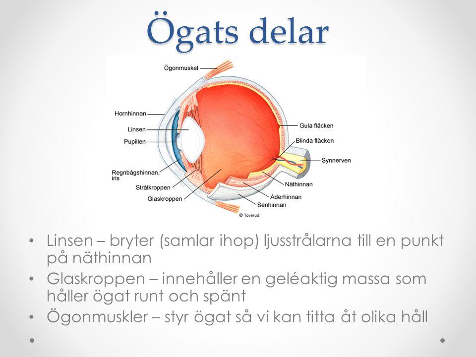 Ögats delar Linsen – bryter (samlar ihop) ljusstrålarna till en punkt på näthinnan Glaskroppen – innehåller en geléaktig massa som håller ögat runt oc