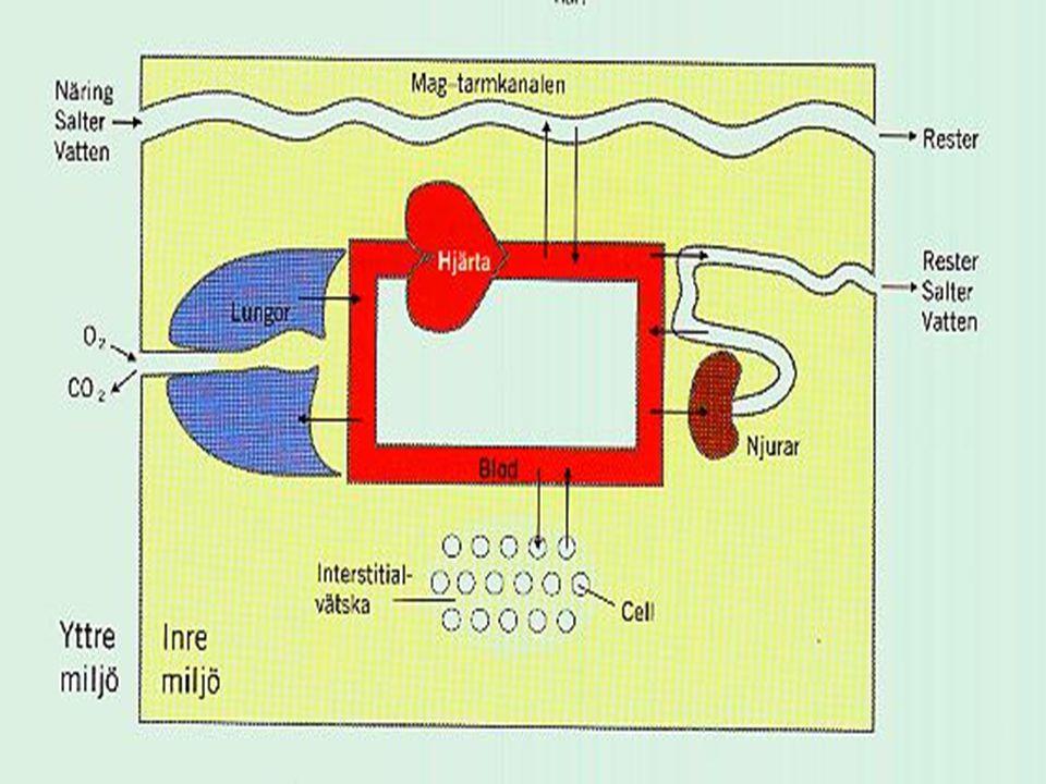 Urinbildande organsystemet: njurar, ureterer, urinblåsa, uretra.