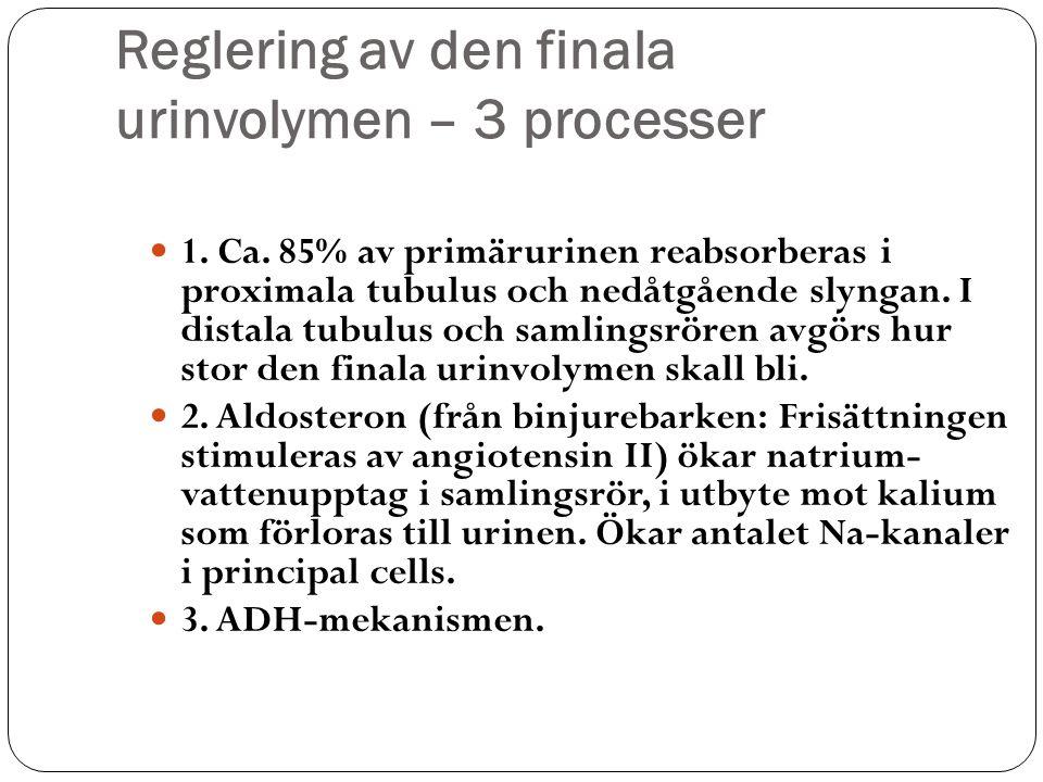 Reglering av den finala urinvolymen – 3 processer 1. Ca. 85% av primärurinen reabsorberas i proximala tubulus och nedåtgående slyngan. I distala tubul