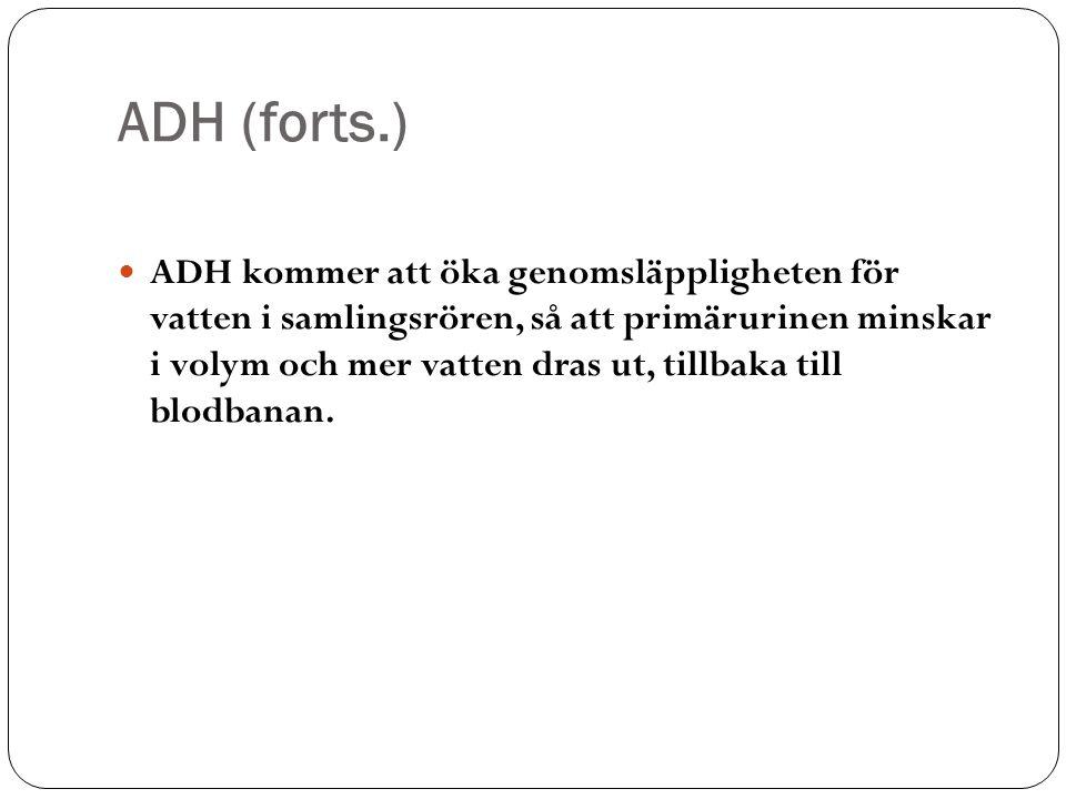 ADH (forts.) ADH kommer att öka genomsläppligheten för vatten i samlingsrören, så att primärurinen minskar i volym och mer vatten dras ut, tillbaka ti
