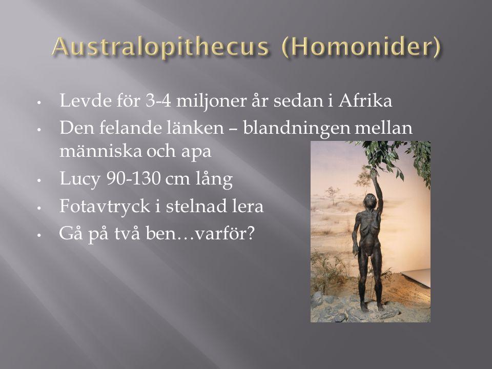 Levde för 3-4 miljoner år sedan i Afrika Den felande länken – blandningen mellan människa och apa Lucy 90-130 cm lång Fotavtryck i stelnad lera Gå på
