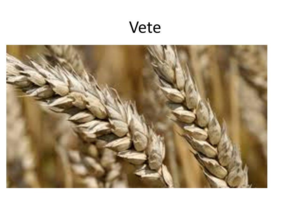 Vetets historia Vete odlas över hela världen.Vetets började förmodligen i sydvästra Asien.