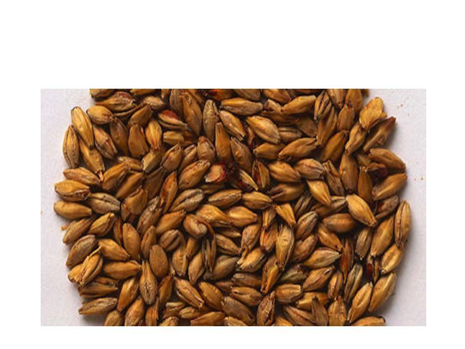 Malt Malt är säd, vanligen korn som fuktas med vatten och fått gro.
