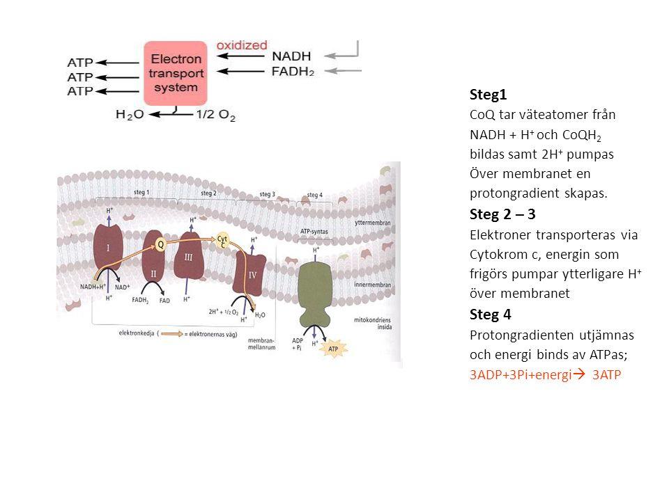 Steg1 CoQ tar väteatomer från NADH + H + och CoQH 2 bildas samt 2H + pumpas Över membranet en protongradient skapas.