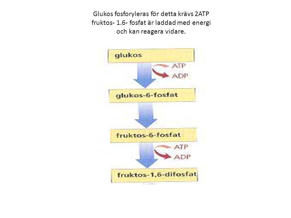 Glukos fosforyleras för detta krävs 2ATP fruktos- 1.6- fosfat är laddad med energi och kan reagera vidare.