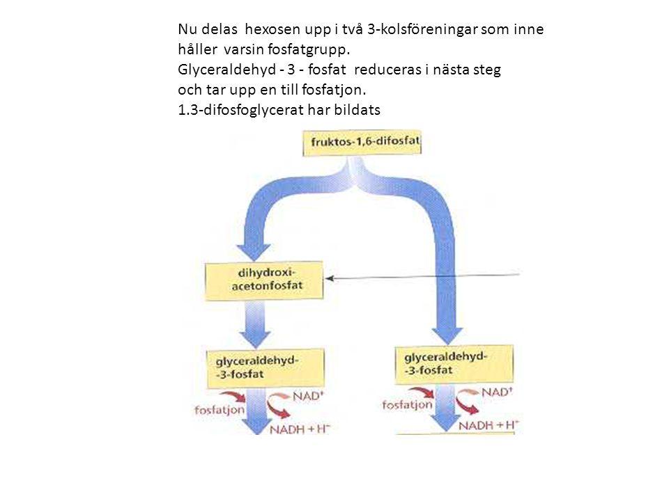 Nu delas hexosen upp i två 3-kolsföreningar som inne håller varsin fosfatgrupp. Glyceraldehyd - 3 - fosfat reduceras i nästa steg och tar upp en till