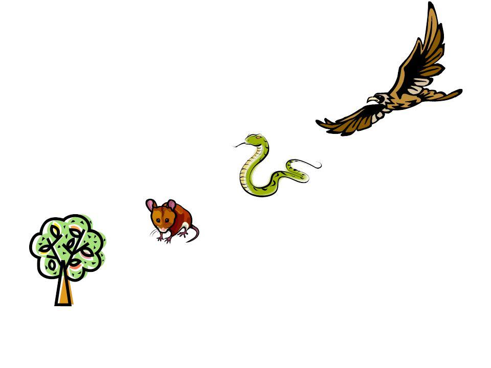 UPPGIFT Gör en näringskedja som passar i en barrskog.