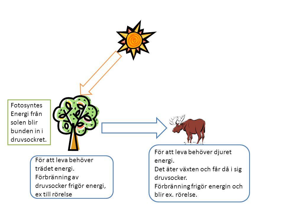 Fotosyntes Energi från solen blir bunden in i druvsockret.